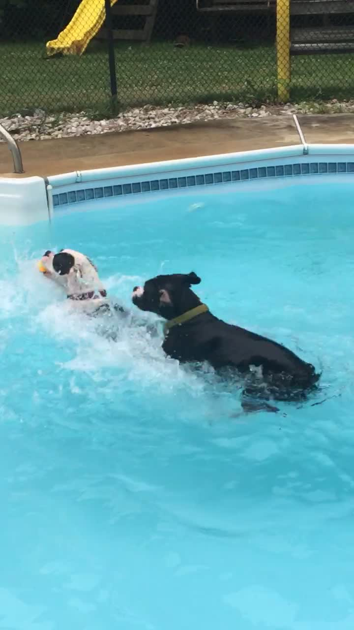 Boxer Puppies New Swimming Technique