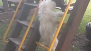 White dog slowmo climbs yellow ladder falls between bars - Video