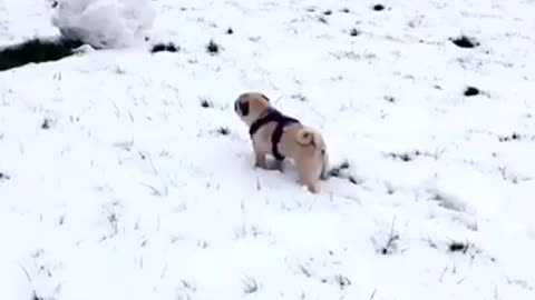 Pug extremely confused by first snow experience