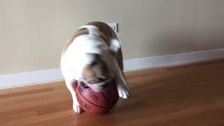 English Bulldog displays ball-handling skills - Video