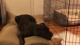 Playful puppy adorably irritates much older dog