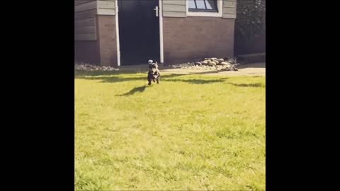 Adorable Dachshund running in slowmotion