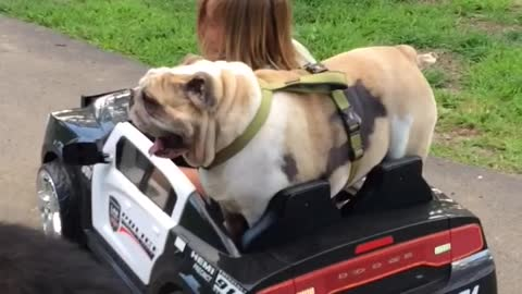 Little Girl Cruises In Kiddie Cop Car With Her Best Bulldog Pal