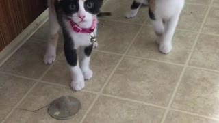 Kittens plays with tub drain