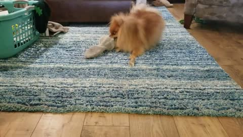 Hilarious Pomeranian cautiously plays with vibrating toy