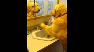 Dog prefers to drink from the sink - Video