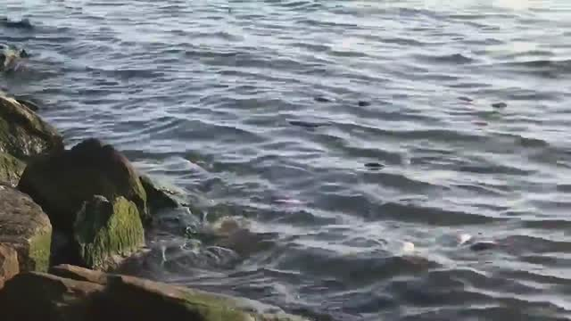Why are there so many dead fish along the shores of the Hudson?