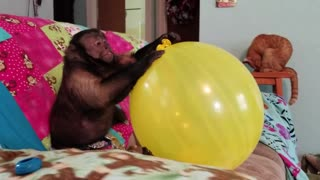 Capuchin Monkey Smacking a Huge Balloon  - Video