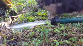 Puppy's First Experience With A Hose - Video