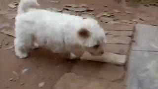 Beautiful And Hungry Russian Dog Running Behind The Food  - Video