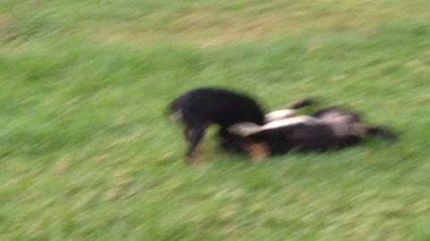 Two puppies do battle