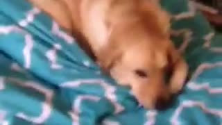 Dog Caught In Her Parents Bed  - Video