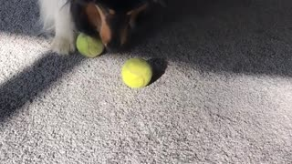 Large fluffy dog plays with two tennis balls  - Video