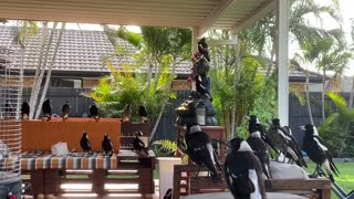 Flock of Magpies Make Themselves at Home