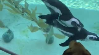 Penguins amazingly interact with curious dog at aquarium