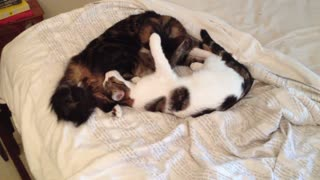 Cat licking kitten - Video