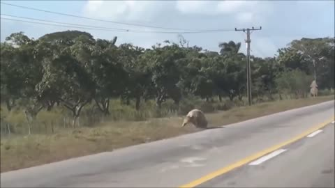 Courageous Pig Jumps Out Of Moving Truck