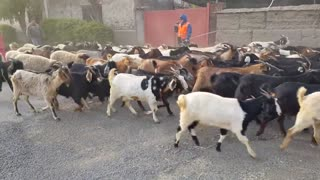 Goats goats & goats on the roads  - Video