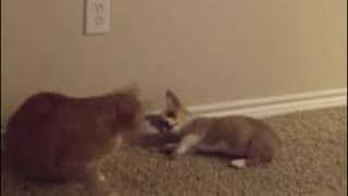 Cat ignores playful Corgi puppy - Video