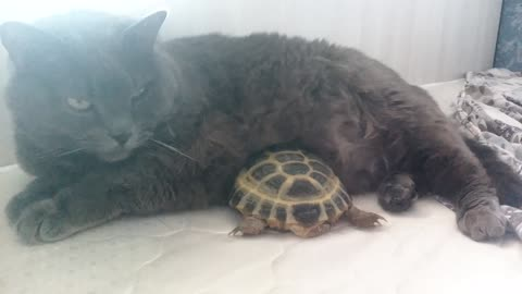 Turtle and cat incredible cuddle and nap together