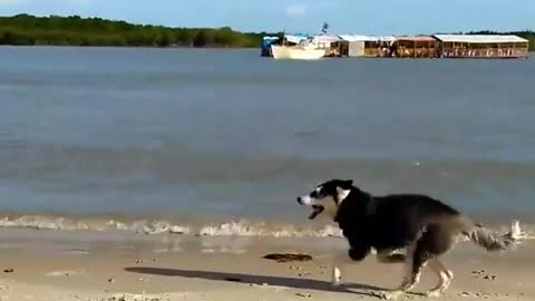 Dogy Runing On the Beach And He is Happy