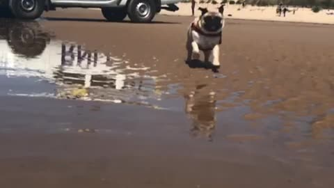 Pug running in slow motion is ready for lifeguard duty