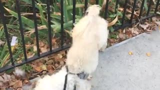 Curly tan dog spins when he pees  - Video