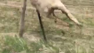 Chasing sheep on a four wheeler