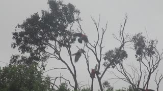 Galahs on a wire  - Video
