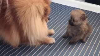 Pomeranian teaches her puppy how to play