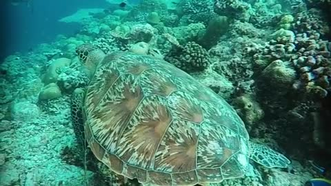 Green Turtle - Maldives