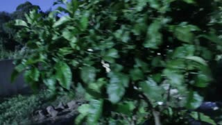 Seven years ago, i had planted a lemon tree, now i found out somebody else made it their home  - Video