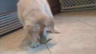 Puppy Can't Resist Playing With Lemon