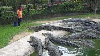 Crocodile Lunch Feeding At Crocodile Farm