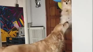 dogs flying at celebration party with ballons - Video
