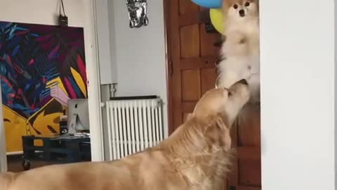 dogs flying at celebration party with ballons