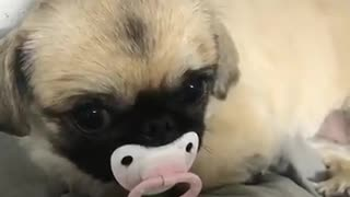 dog with pacifier - Video