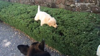Puppy loves playing in bushes  - Video