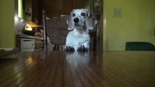 Beagle throws adorable temper tantrum for a treat