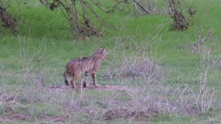 Bobcat from Pamo Valley