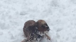 Cocker Spaniel Snow Ball
