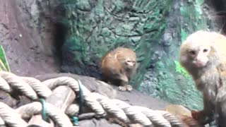 Monkey has super fast hand speed - Video