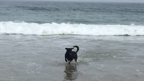 Dog wants to play with surfer