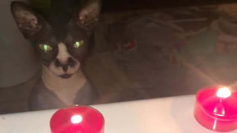 Cautious Sphynx kitten curious about candle flame
