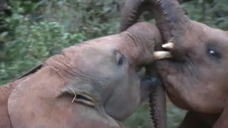 Researchers have sniffed out the secret to elephants' smelling success - Video