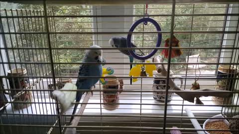 Lonely budgies finally meet