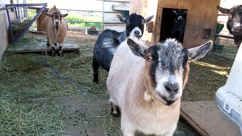 Funny goats hilariously stare at camera