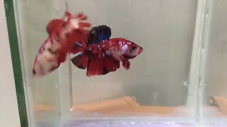How Colorful Couple Koi Nemo Betta Fish During The Period of Birth