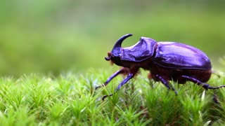 Purple European Rhinoceros Beetle - Video