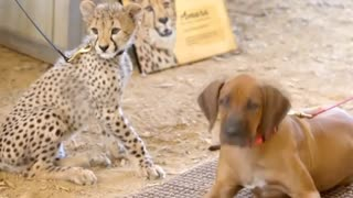 A cheetah cub and a puppy make friends - Video